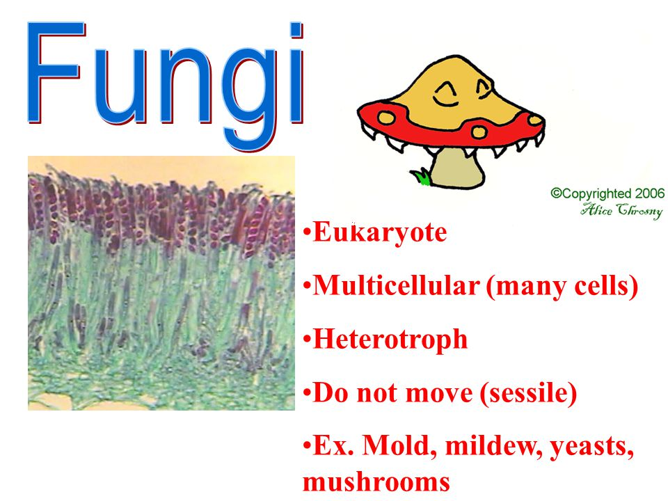 Fungi Eukaryote Multicellular (many cells) Heterotroph