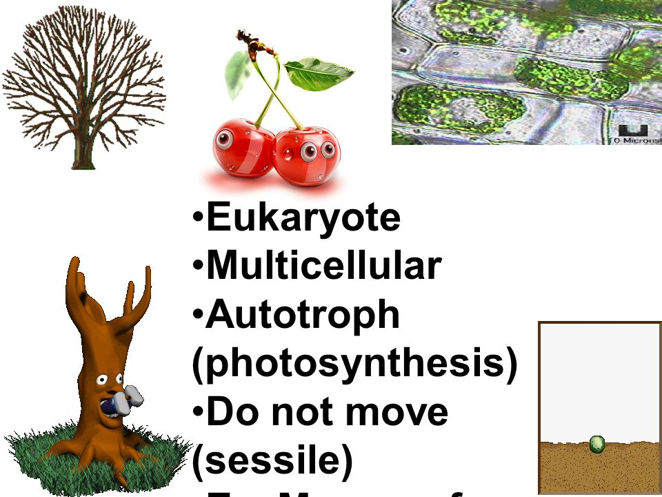 Eukaryote Multicellular. Autotroph (photosynthesis) Do not move (sessile) Ex.