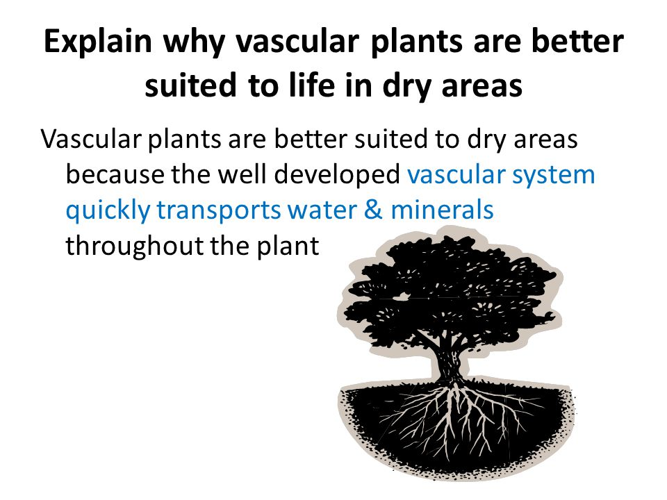 Explain why vascular plants are better suited to life in dry areas