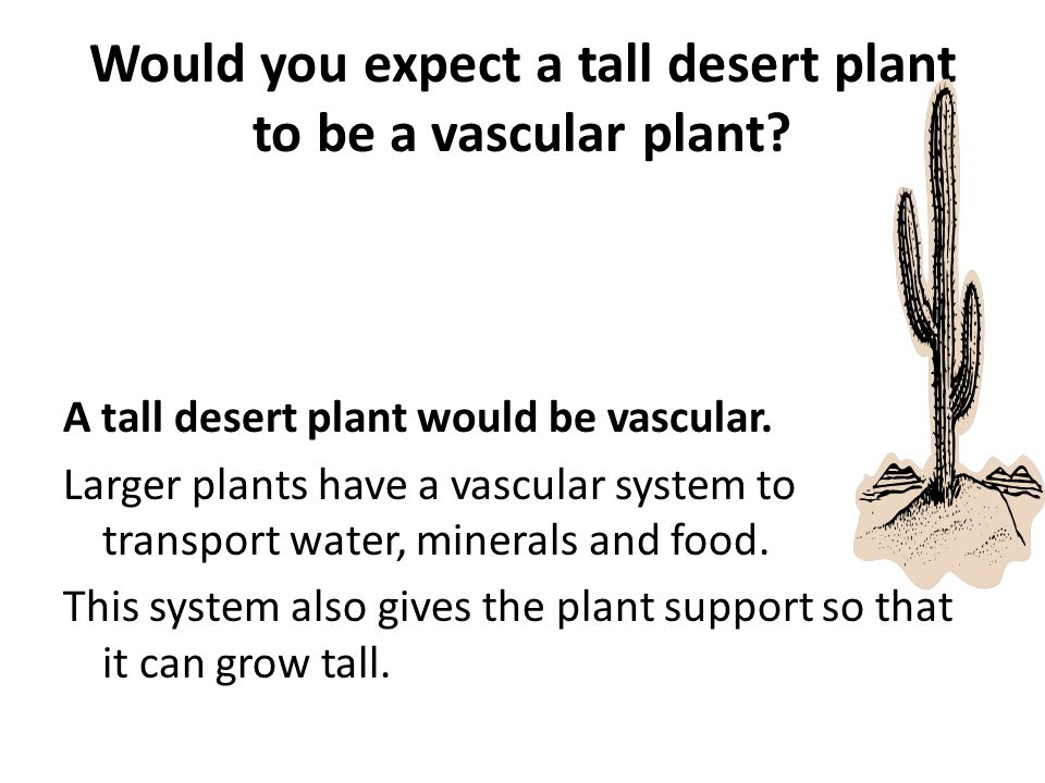 Would you expect a tall desert plant to be a vascular plant