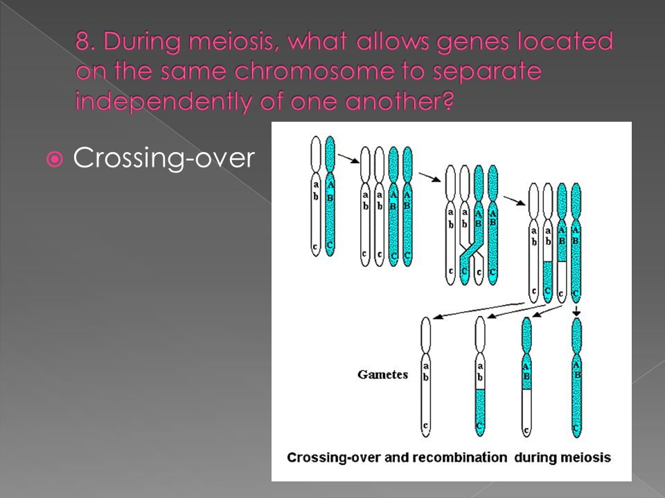 8. During meiosis, what allows genes located on the same chromosome to separate independently of one another