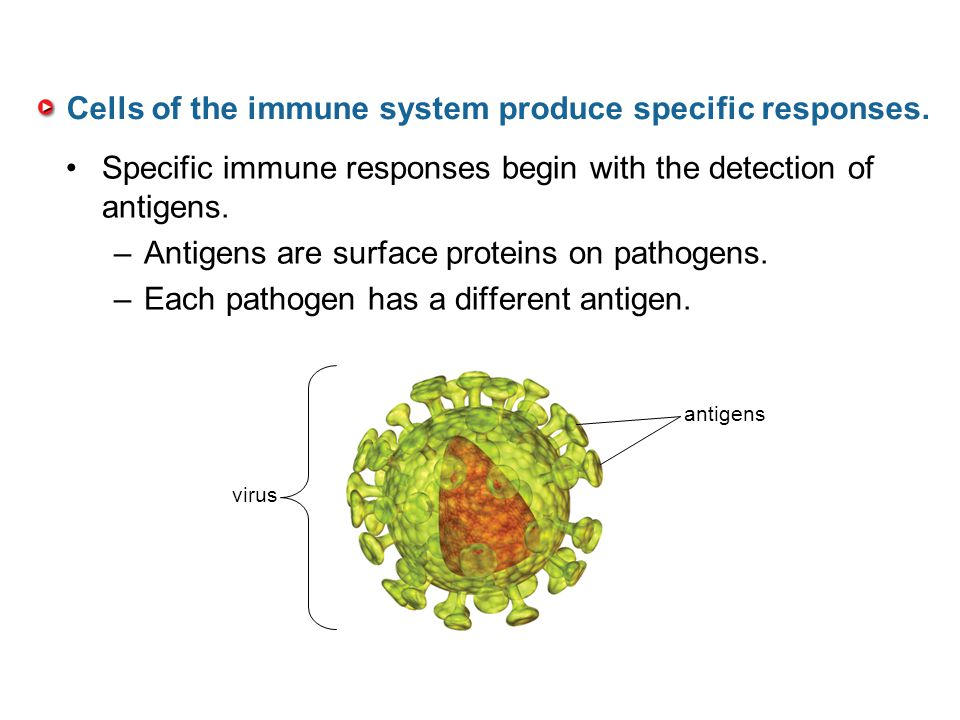 Cells of the immune system produce specific responses.