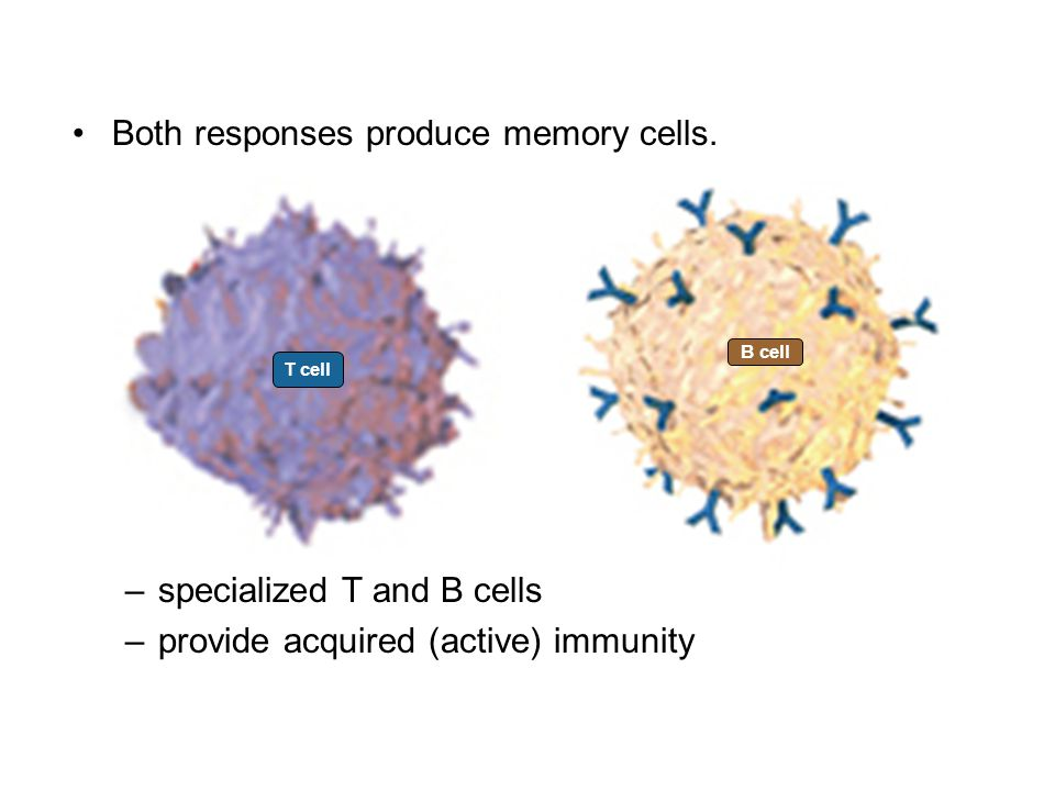 Both responses produce memory cells.