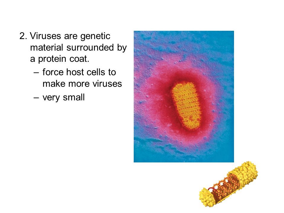 2. Viruses are genetic material surrounded by a protein coat.