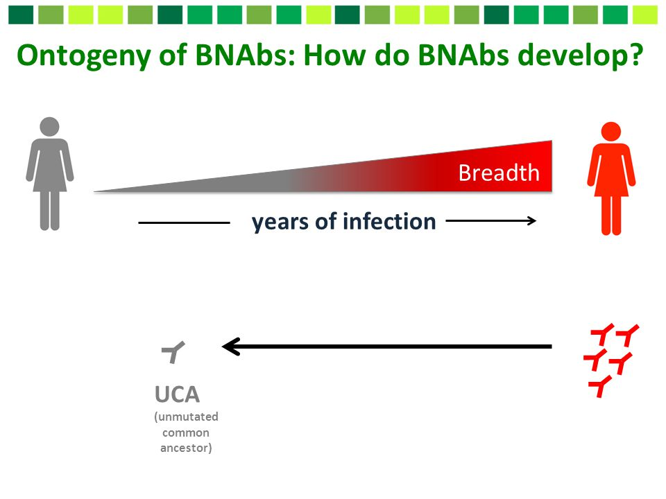 Ontogeny of BNAbs: How do BNAbs develop
