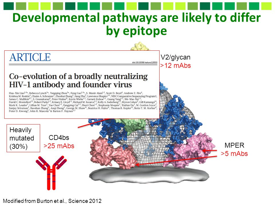 Developmental pathways are likely to differ by epitope