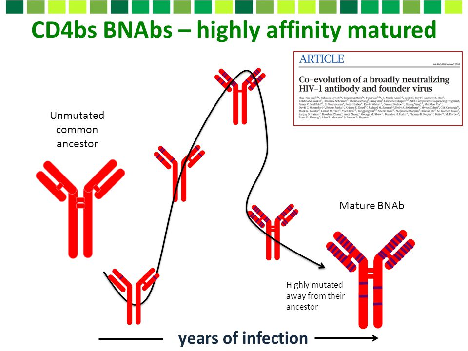 CD4bs BNAbs – highly affinity matured