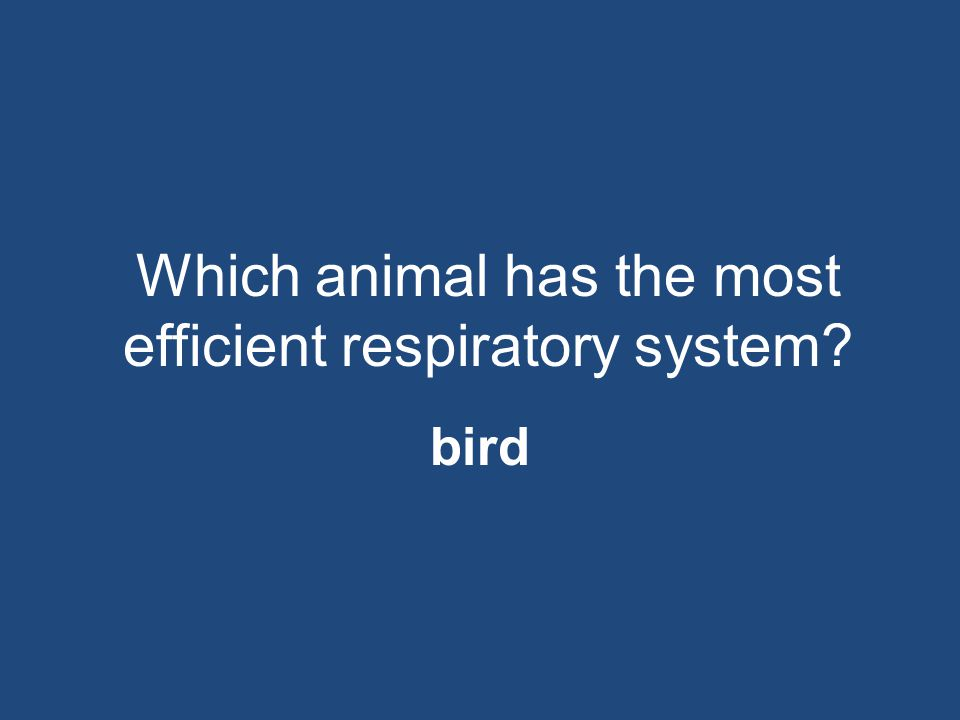 Which animal has the most efficient respiratory system