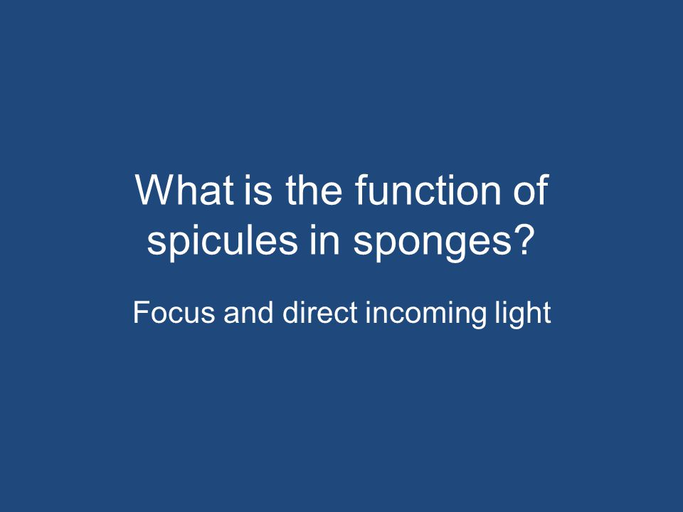 What is the function of spicules in sponges