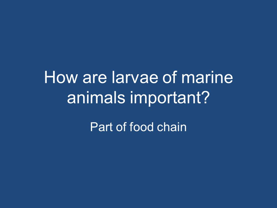 How are larvae of marine animals important
