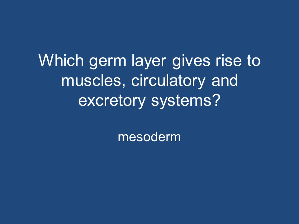 Which germ layer gives rise to muscles, circulatory and excretory systems