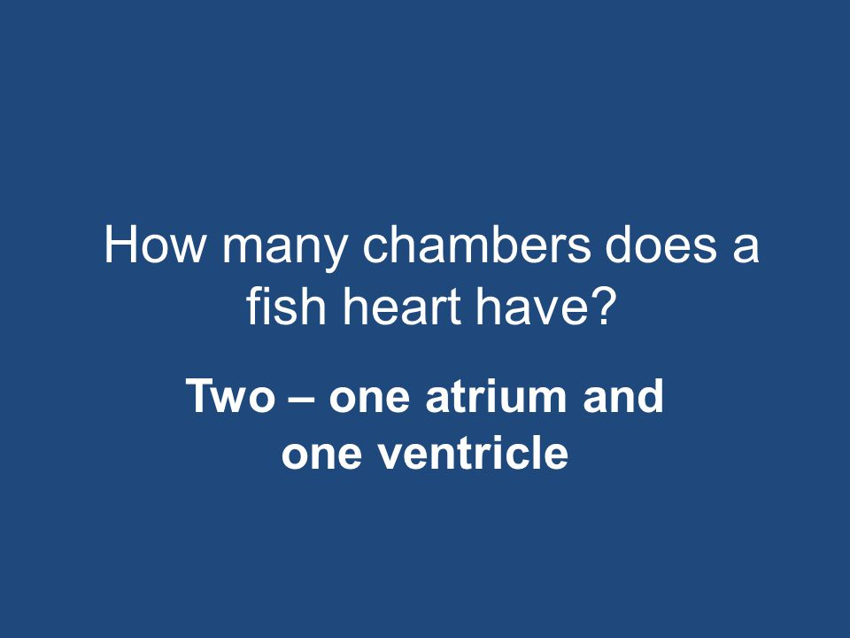 How many chambers does a fish heart have