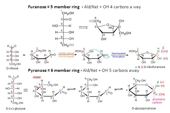 Furanose = 5 member ring - Ald/Ket + OH 4 carbons a way