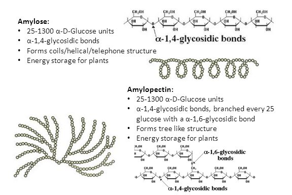 Amylose: 25-1300 α-D-Glucose units. α-1,4-glycosidic bonds. Forms coils/helical/telephone structure.