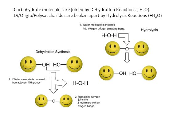 Carbohydrate molecules are joined by Dehydration Reactions (-H2O)