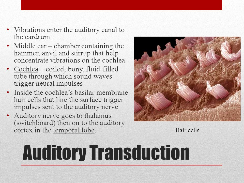 Auditory Transduction