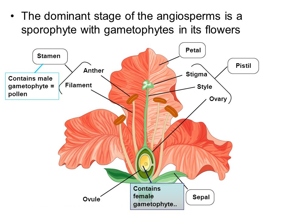 The dominant stage of the angiosperms is a sporophyte with gametophytes in its flowers