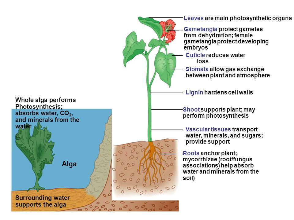 Leaves are main photosynthetic organs