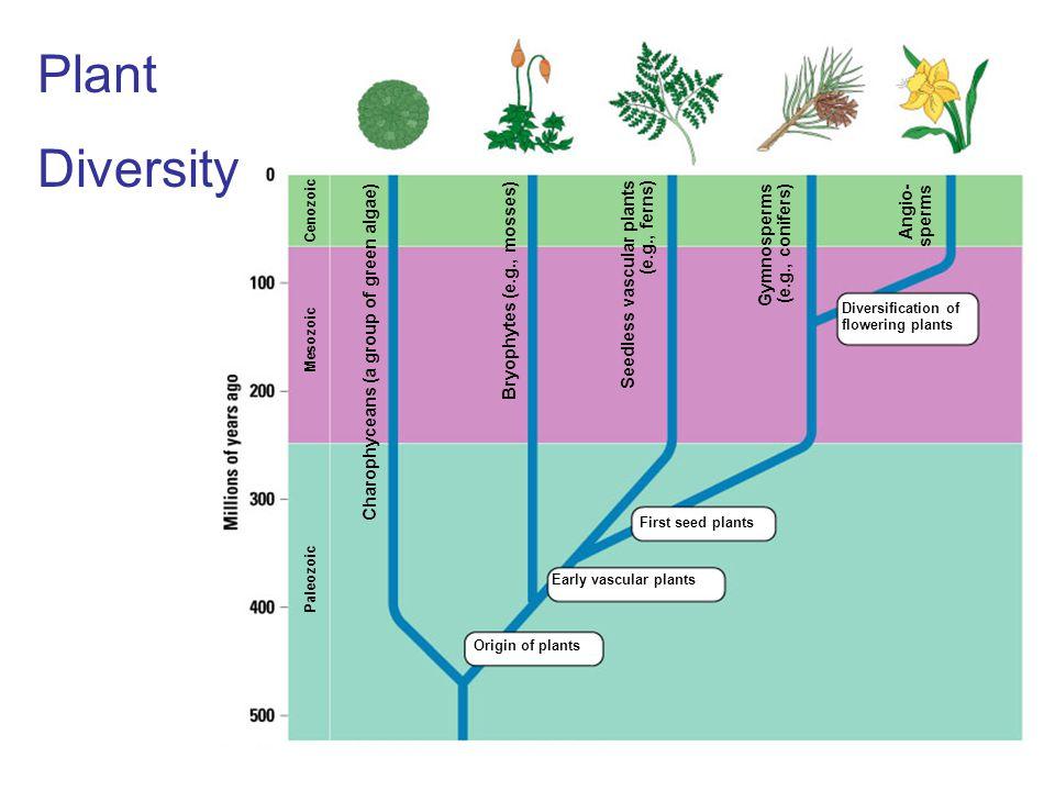 Plant Diversity Angio-sperms Gymnosperms (e.g., conifers)
