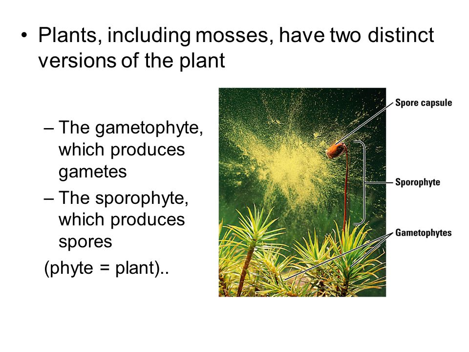 Plants, including mosses, have two distinct versions of the plant