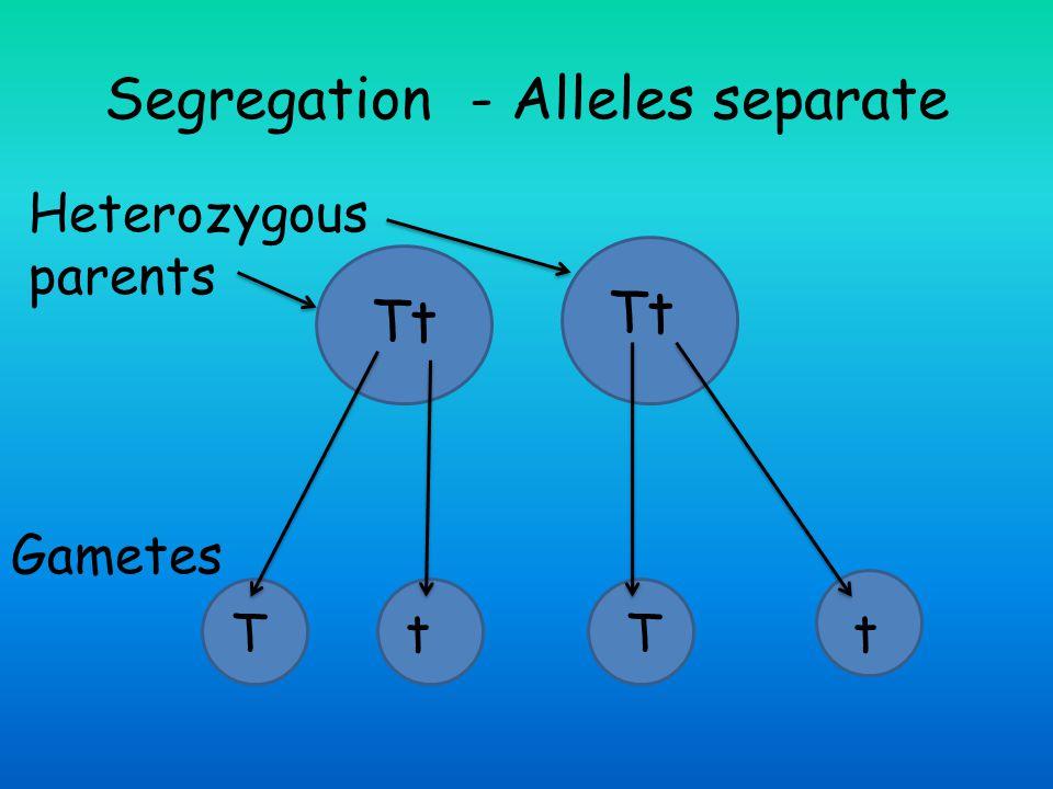 Segregation - Alleles separate