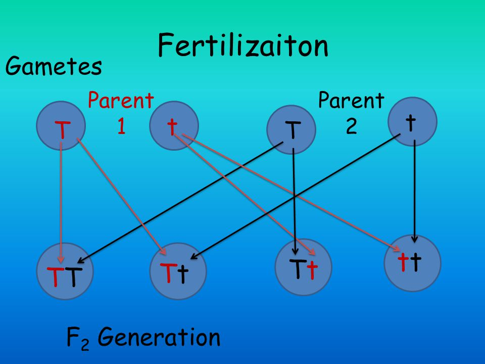 Fertilizaiton tt Tt Tt TT Gametes t t T T F2 Generation Parent 1