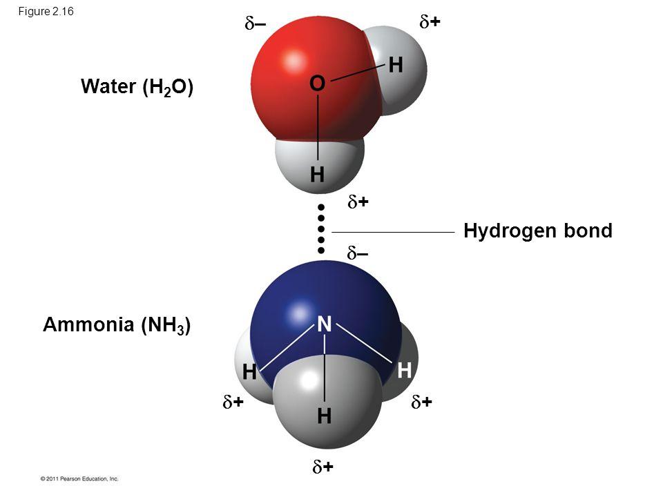– + Water (H2O) + Hydrogen bond – Ammonia (NH3) + + +