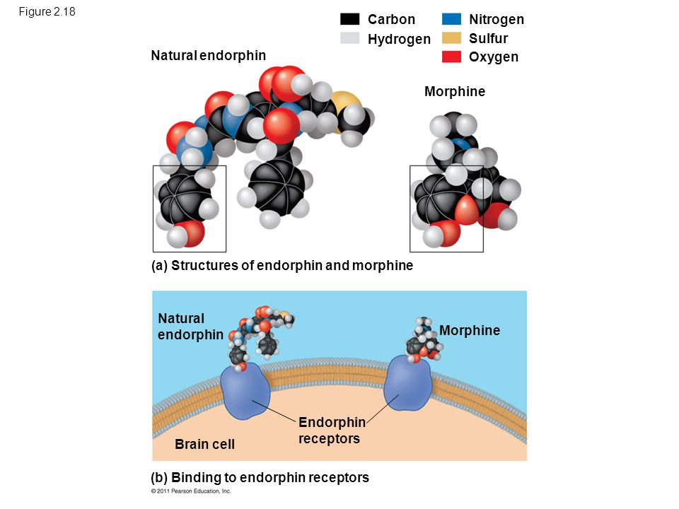 (a) Structures of endorphin and morphine