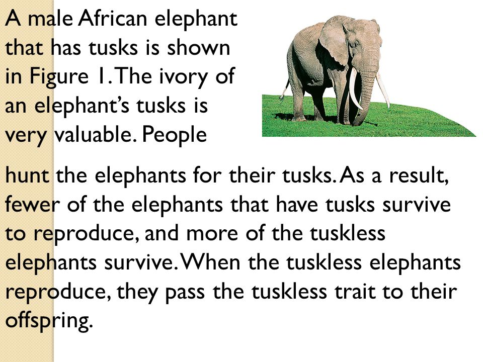A male African elephant that has tusks is shown in Figure 1