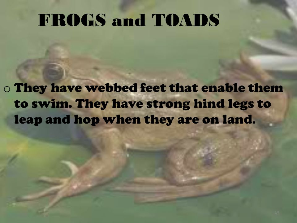 FROGS and TOADS They have webbed feet that enable them to swim.