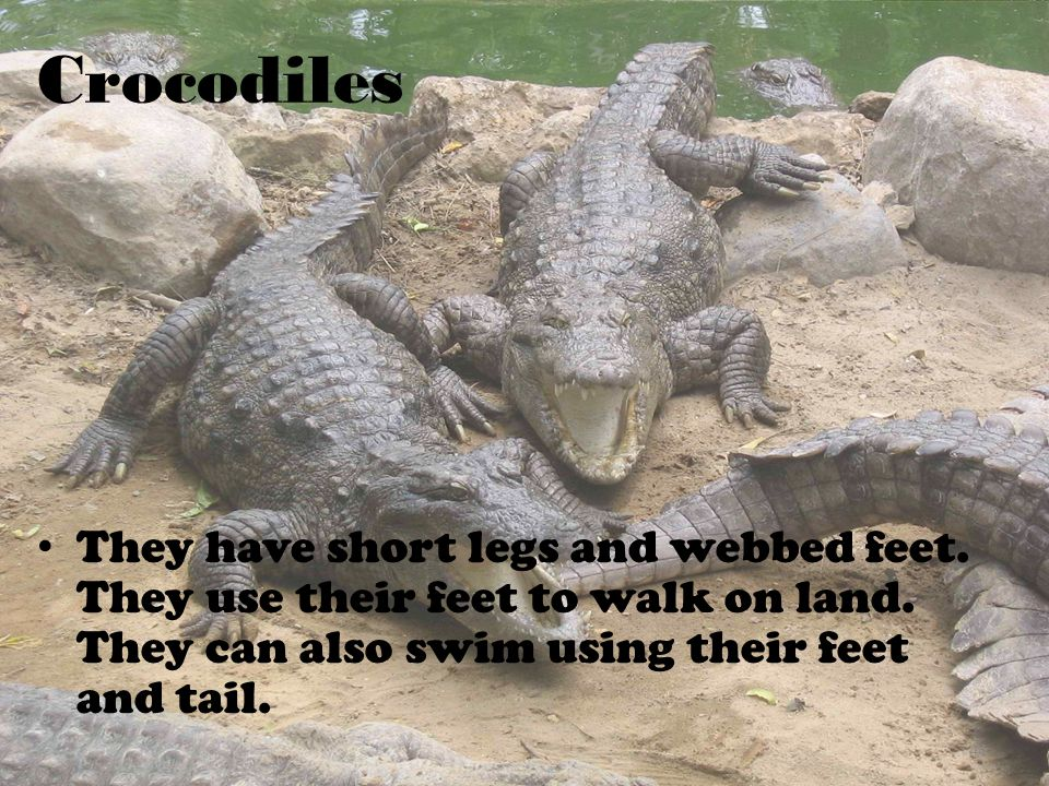 Crocodiles They have short legs and webbed feet. They use their feet to walk on land.