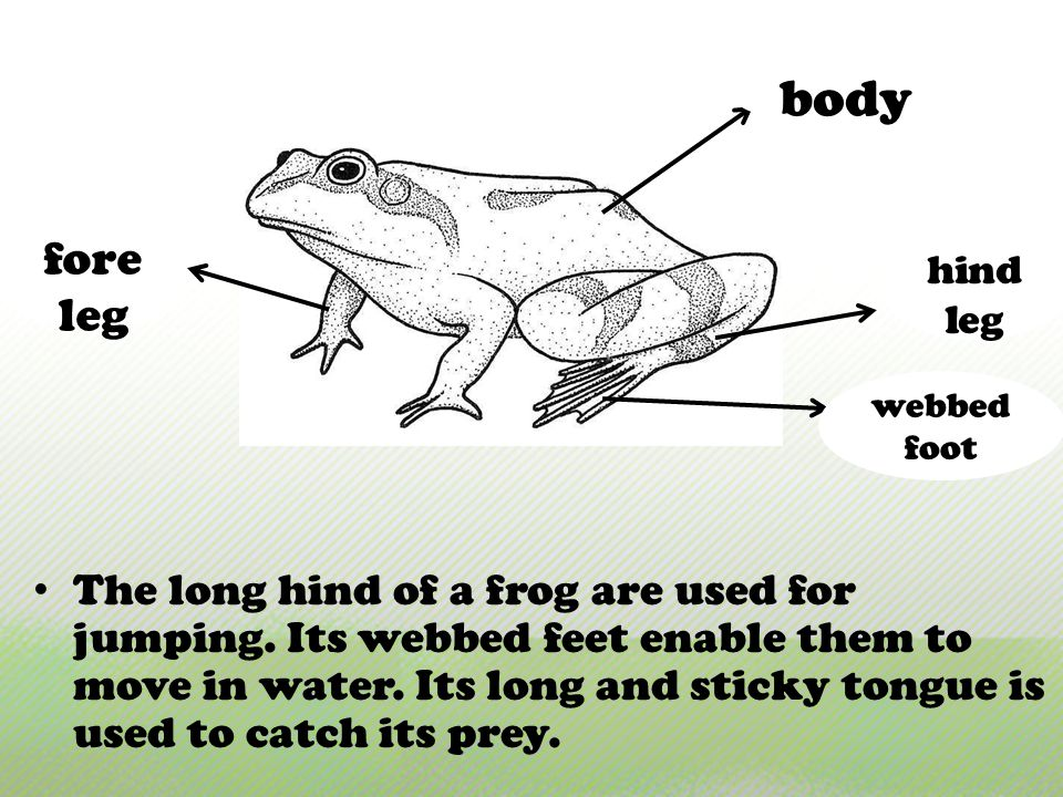 The long hind of a frog are used for jumping