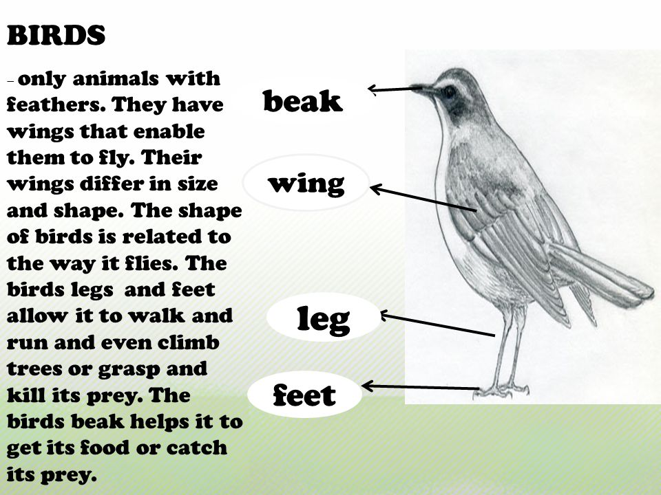 leg beak feet BIRDS wing