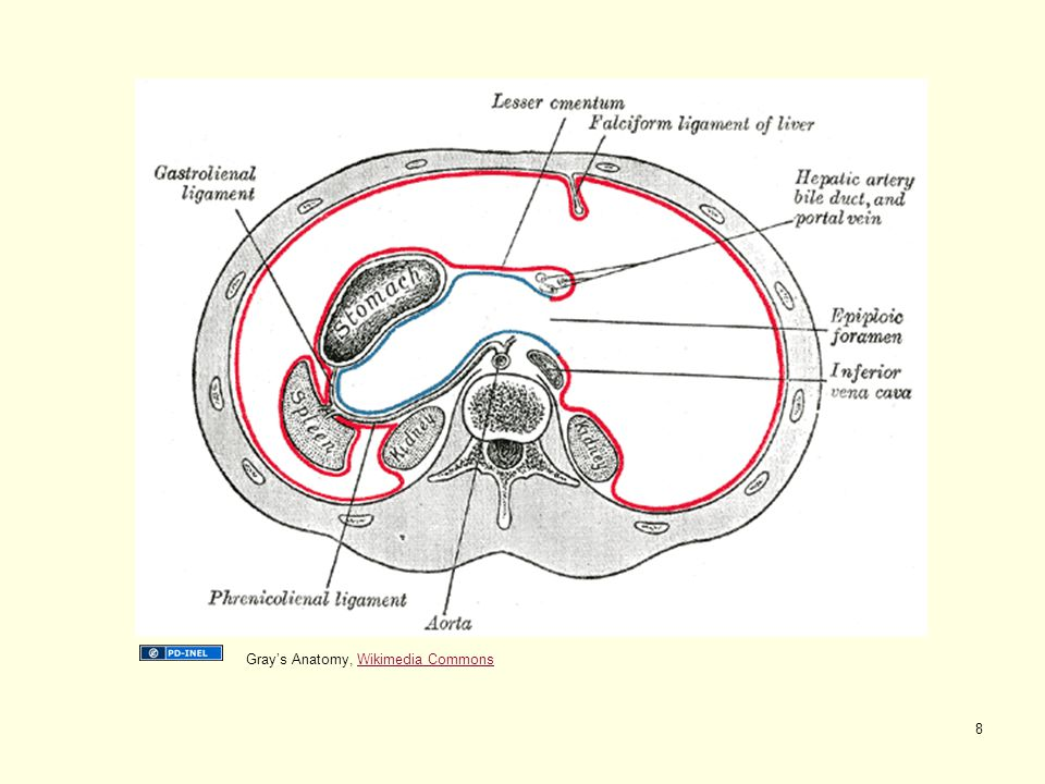 Gray's Anatomy, Wikimedia Commons
