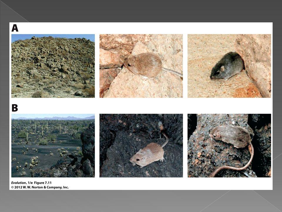 Figure 7. 11 Pocket mice live in light and dark rock habitats
