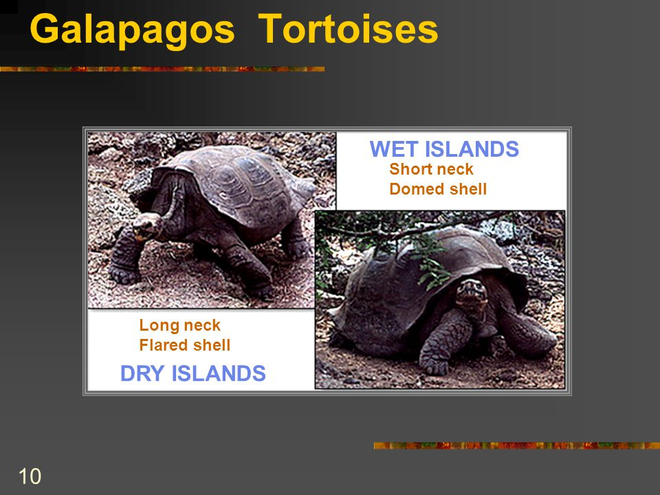 Galapagos Tortoises WET ISLANDS DRY ISLANDS Short neck Domed shell