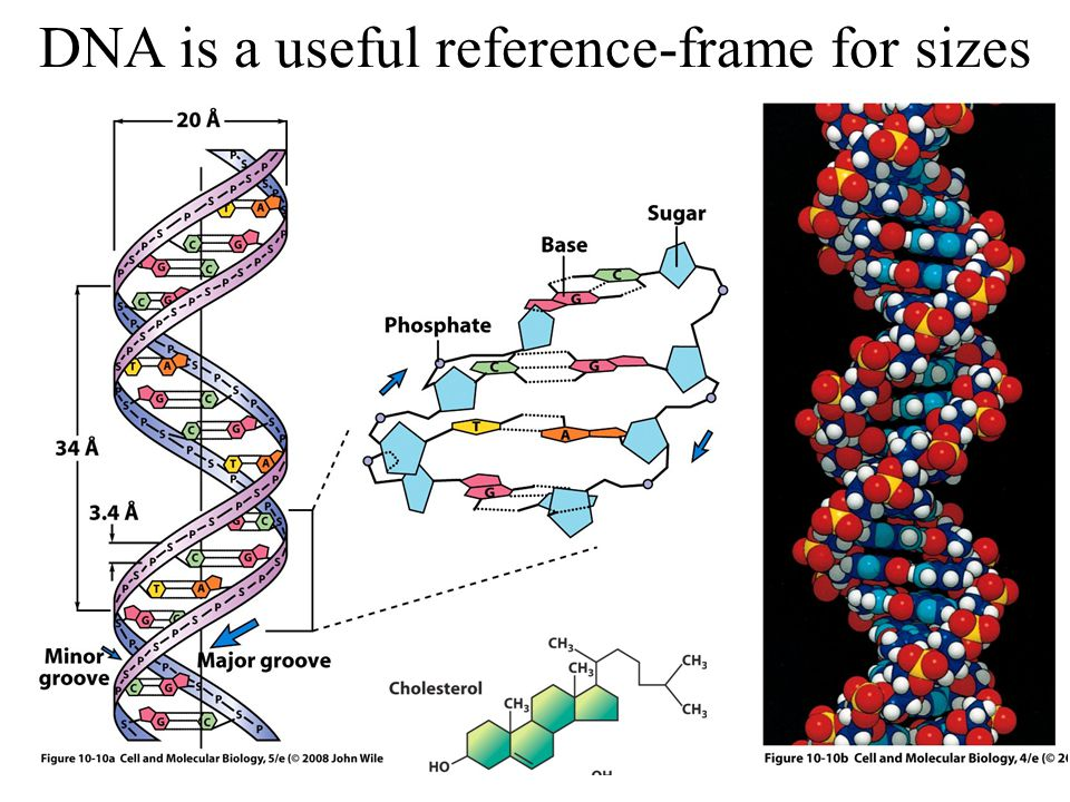 DNA is a useful reference-frame for sizes