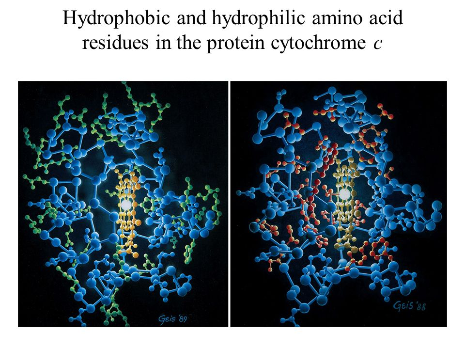 Hydrophobic and hydrophilic amino acid residues in the protein cytochrome c