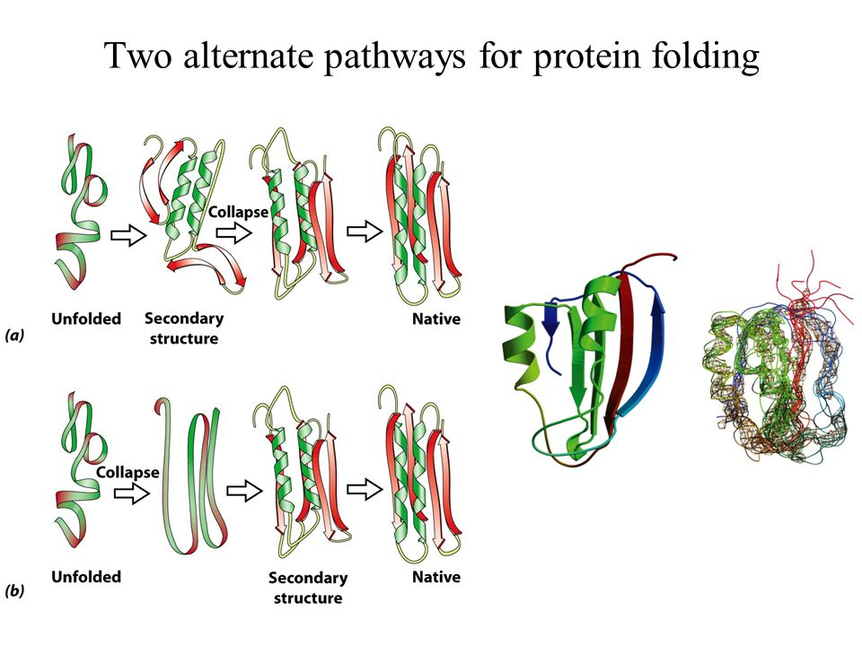 Two alternate pathways for protein folding