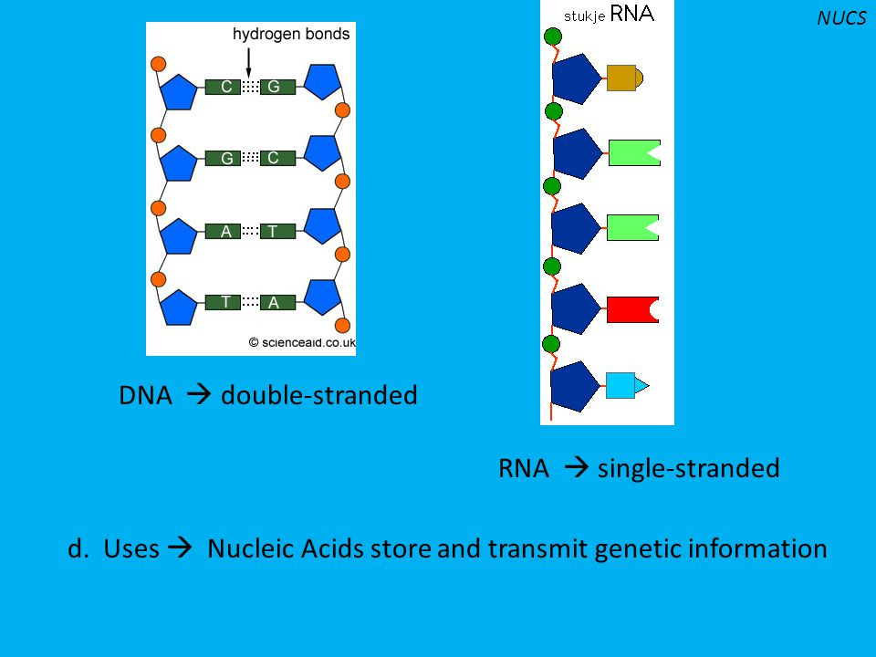 d. Uses  Nucleic Acids store and transmit genetic information