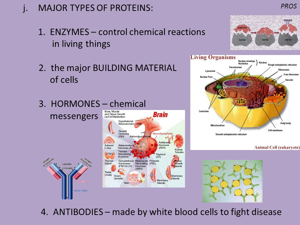 MAJOR TYPES OF PROTEINS: 1. ENZYMES – control chemical reactions