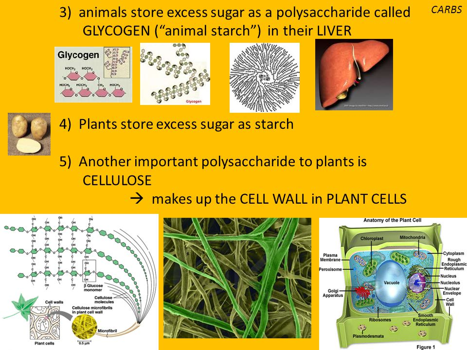 3) animals store excess sugar as a polysaccharide called