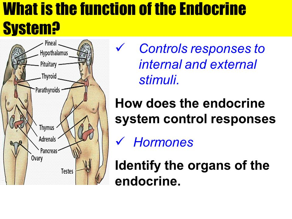 What is the function of the Endocrine System