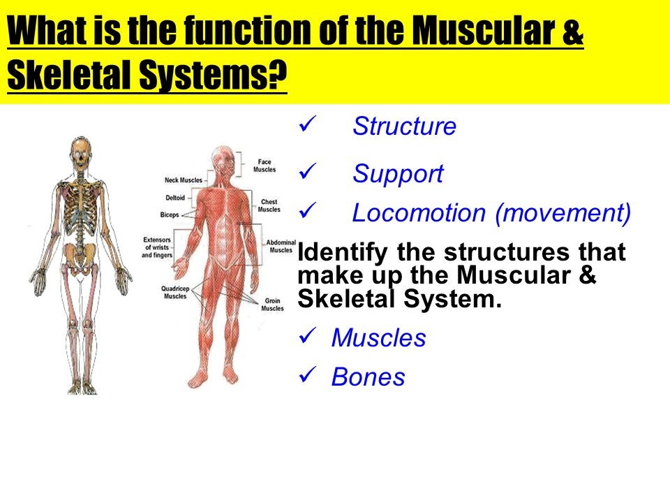 What is the function of the Muscular & Skeletal Systems