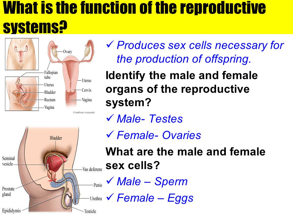 What is the function of the reproductive systems