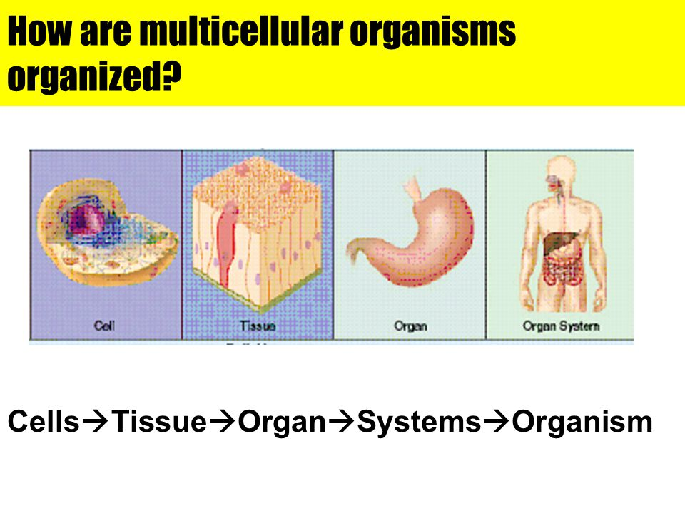 How are multicellular organisms organized