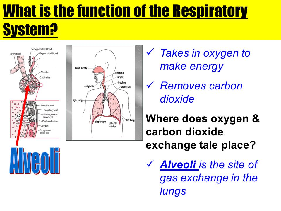 What is the function of the Respiratory System