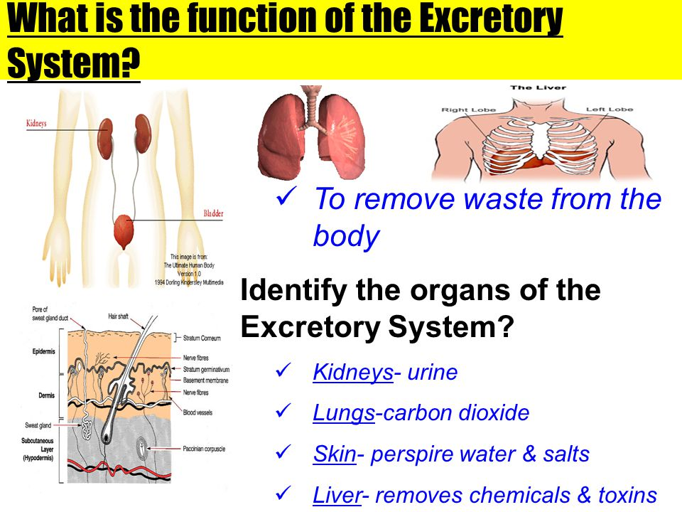 What is the function of the Excretory System