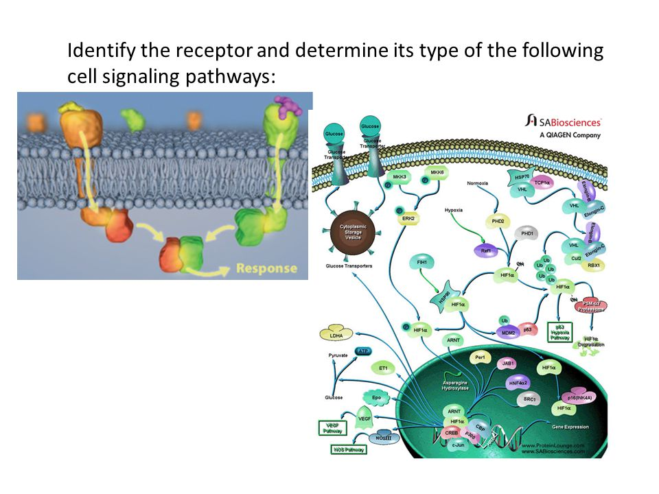 Identify the receptor and determine its type of the following cell signaling pathways:
