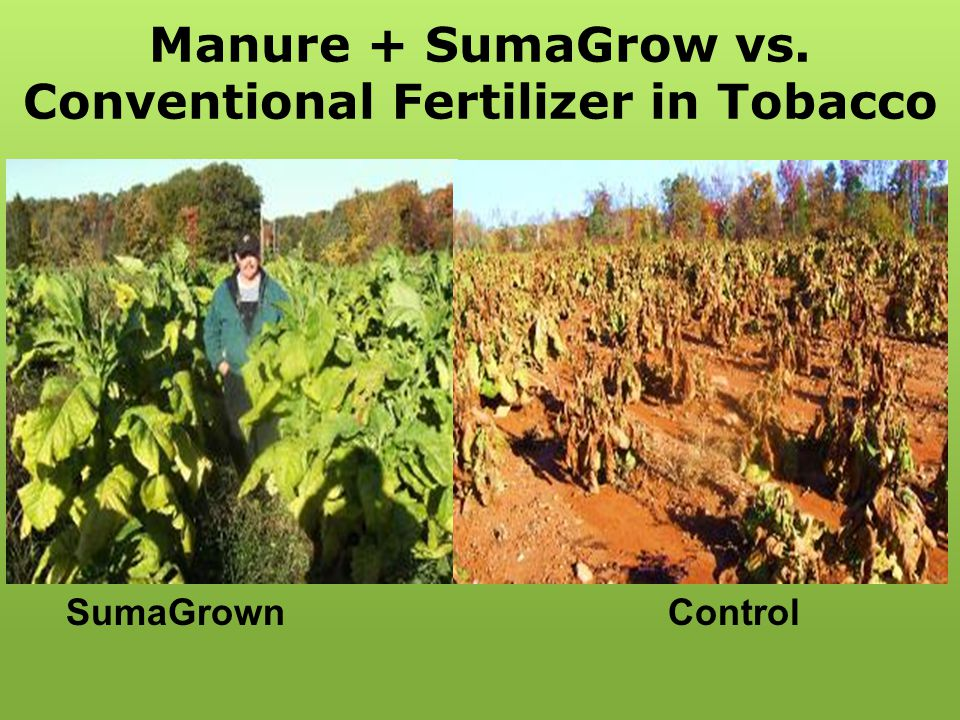 Manure + SumaGrow vs. Conventional Fertilizer in Tobacco